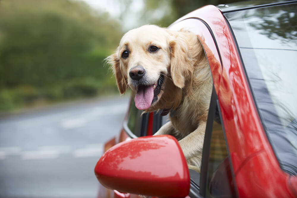 Dog Safety While Driving in Summer Heat
