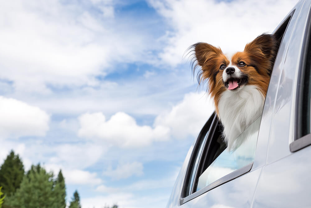 Keep Dogs Cool in the Summer While Driving
